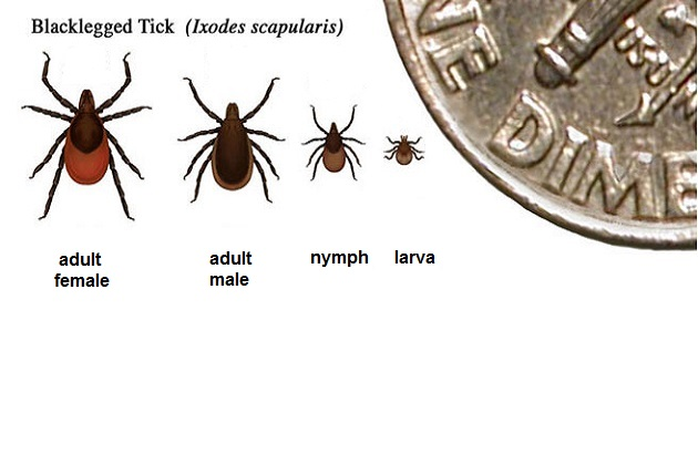 The 4 stages of a blacklegged tick